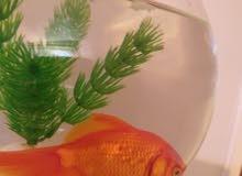 سمكة رقاص قولدن فيش للبيع