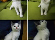 cat for sale in Riyadh