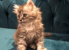 للبيع قطط