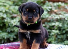 Home Trained Rottweiler puppies Set for new homes now