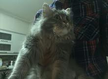 قطة شيرازي انثى عمر 11 شهر للبيع