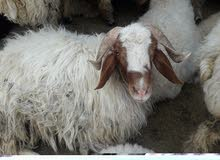 خروف حي الكيلوا  6 دينار