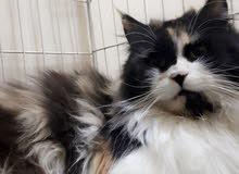 قطه شيرازي جميله حامل