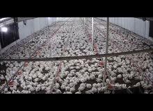 30 thousand live broiler chicks