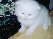 قطط شيرازى بيور مون فيس تركى