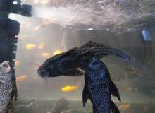 وصول سمك مفترس