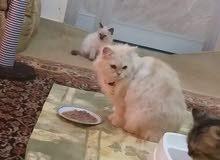 قطه شيرزي