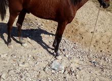 حصان احمر