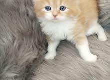 خمس قطط شيرازية بيور بسعر رهيب