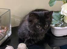 للبيع قط شيرازي جميل وألليف ولون جميل جدا