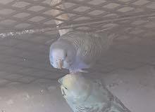 2 جوز طيور بادجي