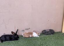 ارانب لل واحد 50 الكل 140