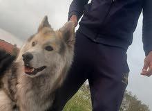 كلب هاسكي شعر طويل عضم عريض