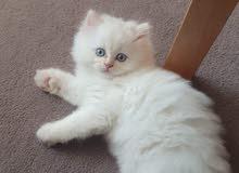 Ragdoll Kitten (2 month male)