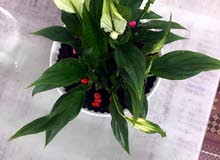 indoor plant peace lilly