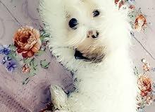 كلب للبيع نثيه تيرير عمر 4 اشهر
