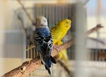 طيور الباجي زوج منتج