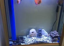 Runzee Sump Tank with Discus