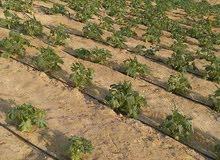 مزرعة أرض مزروعة زيتون كاملة المرافق والخدمات بها مياه شرب وري نيلي وكهرباء على