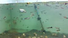 حوض كامل مع 25 سمكة وحلزون سعره بلاش اقراء الوصف