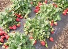 40هكتار للإيجار صالحة لي زراعة الفرولة