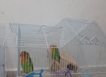 طيور حب نوع فيشر ذكر وانثي بصحة جيدة