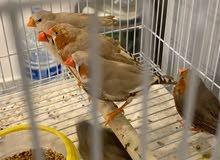 زيبرا طيور