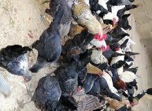 دجاج بلدي للبيع زليتن