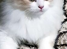 قطة لعوبة شيرازي عمرها 3 اشهر