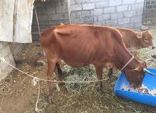 للببع البقره عمانيه
