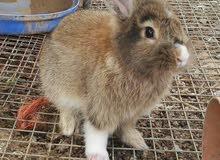 ارنب ذكر هولندي