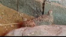 زوج قطا عماني