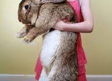 مطلوب أرنب هولندي ذكر حجم كبير و جاهز للإنتاج