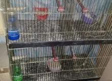عصافير استرالى قص راقد ع بيض