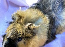 guinea pigs -ABYSSINIAN