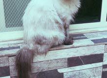 قطه أنثى هملايا