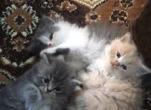 قطط شيرازى للبيع عمر 50 يوم لعوبين ومتعودين على اكل البيت