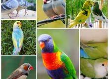 عليقة مسحوق مورينجا وبذور للطيور والدواجن