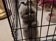 قطط سكوتش فولد للبيع