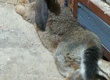 ارانب اوكراني