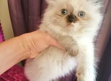 قطط هملايا العمر 45 يوم للبيع