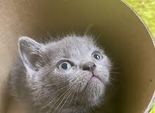 scottish/british mix grey kitten (2 months)