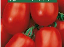 بذور طماطم مهجن