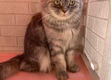 قط شيرازي انثى للبيع