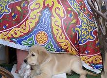 Male Golden retriever puppy for sale