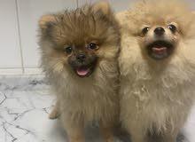 كلاب بومبيرييان