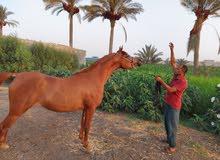 قولوا ماشاء الله لا قوة إلا بالله لعشاق الخيول العربية المصرية والمنافسه