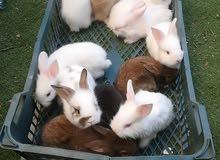 ارانب نظيفه للبيع