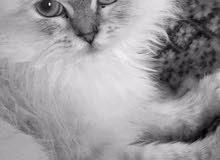 قطة هملايا للبيع-hemilaya cat