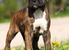 boxer male dog avilible 3 month 7500